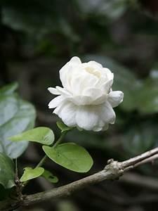 Jasmin Pflanze Winterhart : die jasmin pflanze verbreitet sch ne d fte zu hause ~ Frokenaadalensverden.com Haus und Dekorationen