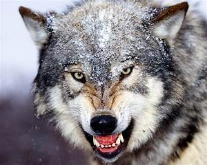 Growling Wolf - Wolves Photo (22794390) - Fanpop