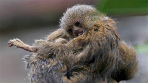 Blizanci najmanjeg majmuna na svetu - sa tri meseca ...