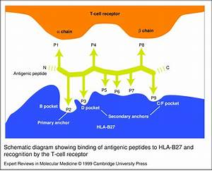 Schematic Diagram Showing Binding Of Antigenic Peptides To