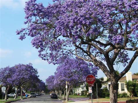 tree with lavender flowers l a places jacarandas