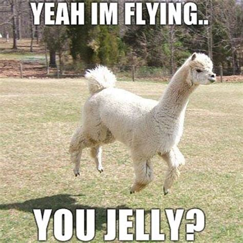 funny llama pictures