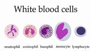 5 Types Of White Blood Cells Pictures   Biological Science
