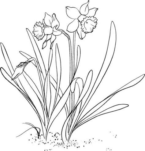 daffodil flower coloring page kids play color