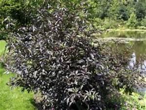 Holunder Black Beauty : rotbl ttriger holunder sambucus nigra 39 purpurea 39 baumschule horstmann ~ Frokenaadalensverden.com Haus und Dekorationen