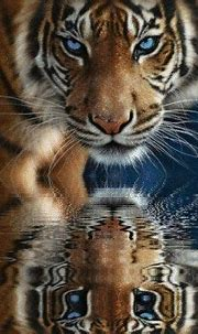 307 best Tigers images on Pinterest