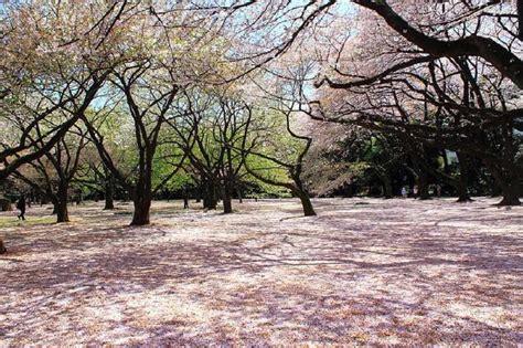 shinjuku gyoen national garden top 7 cherry blossom spots in tokyo islamic travel