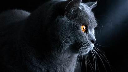 Cat British Shorthair Grey Wallpapers