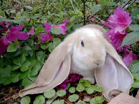 rabbits  sale  mississippi mississippi rabbit