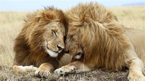 Two Big Lion Sitting Together In Jungle Hd Wild Animals