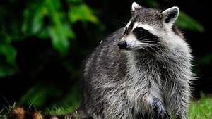 Dog Kills Raccoon With Rabies in Middle Township - NBC 10 ...