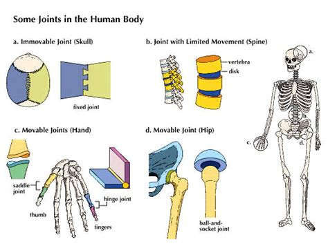 Joints In The Human Body