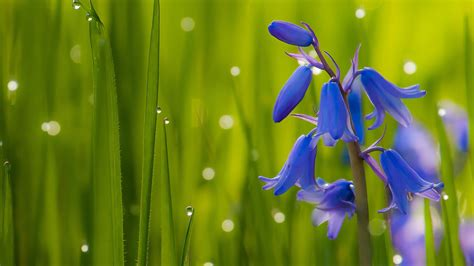 bluebells dark blue flowers bells green grass bluebell
