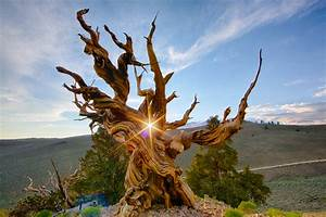 The Top 10 Oldest Living Trees in the World - Who Else ...