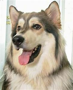 Wolamute Dog Breed Information and Pictures