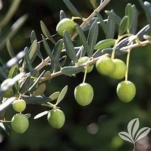 Arbosana Olive Tree-OLIARS08B - The Home Depot
