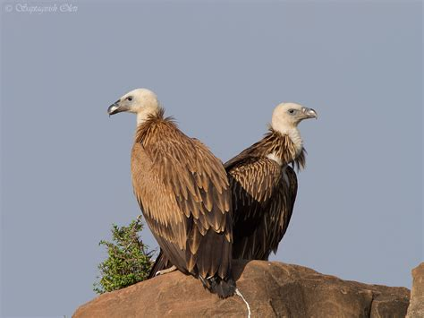 the griffon vulture wild bird the wildlife