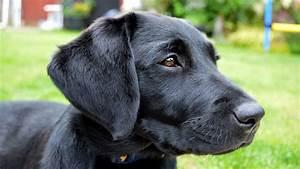 Molly The Black Labrador Puppy  10 - 14 Weeks