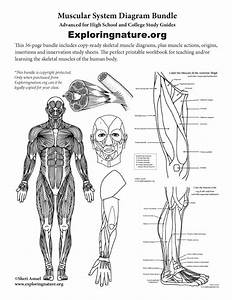 Muscular System Expanded Bundle  High School  U0026 College