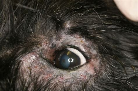 periocular dermatitis  dogs vetlexicon canis