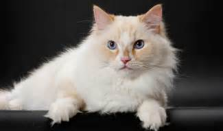 cat breed selector ragamuffin cat info personality kittens pictures