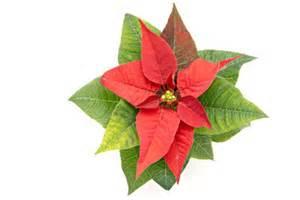 Weihnachtsstern Pflanze Kaufen : pflege weihnachtsstern so bleibt er auch im sommer sch n ~ Michelbontemps.com Haus und Dekorationen