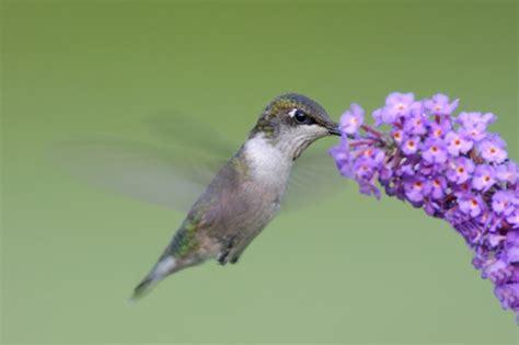hummingbird food   hummingbirds eat