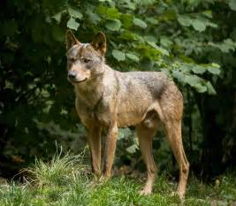 Iberian Wolf-Portugal National Animal | Wallpapers9