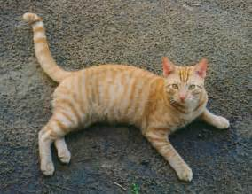 tabby cat orange tabby cats pctures and info