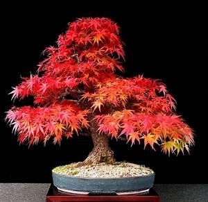 Roter Japanischer Ahorn : japanischer f cherahorn japan baum ahorn ~ Frokenaadalensverden.com Haus und Dekorationen