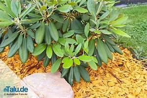 Anthurie Blüht Nicht : rhododendron bl ht nicht das hilft wenn die azalee nicht bl ht ~ Frokenaadalensverden.com Haus und Dekorationen