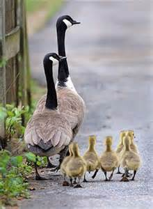 Canadian Geese and Gosling's