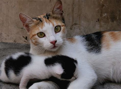 calico cat breeds encyclopedia mommy