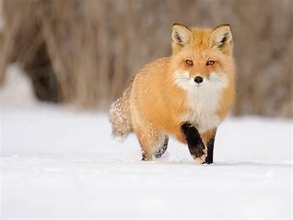 Fox Snow Winter Wallpaperup Wallpapers