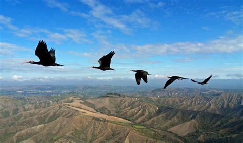 fly si鑒e social perché gli stormi di uccelli volano a v wired
