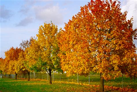 what type of maple tree do i what type of maple tree do i 28 images norway maple tree care growing a norway maple tree