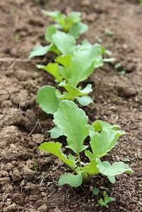 Culture Des Radis : radis d 39 hiver noir violet blanc culture semis et r colte au potager ~ Melissatoandfro.com Idées de Décoration