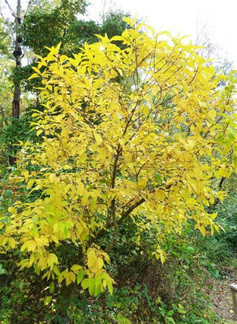 trees with yellow leaves in fall 10 midwest plants for instant fall color midwest living
