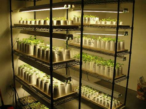 lights for seedlings growing hosta seedlings
