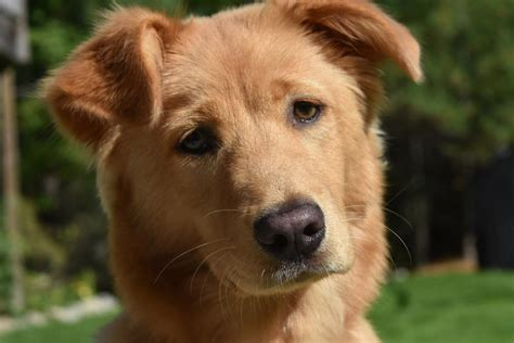 how are dogs dogs are more expressive when someone is looking sciencedaily