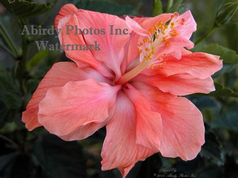 what color is hibiscus flowers hibiscus