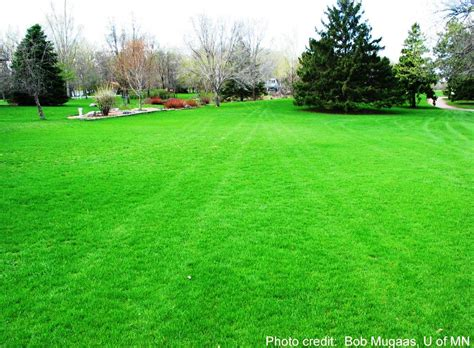 lawn grass sulis sustainable urban landscape information series university of minnesota extension