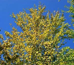 Arbre Ombre Croissance Rapide : plantes oasis arbre au caramel cercidiphyllum japonicum ~ Premium-room.com Idées de Décoration