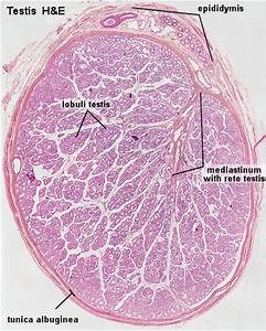 File:Testis histology.jpg - Embryology
