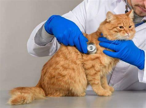 chronische darmentzuendung ibd bei katzen  ist das