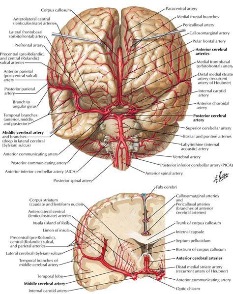 Cerebral Angiography Carotid Anatomy