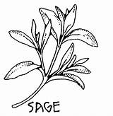 Sage Herbs Pages Coloring Drawing Clipart Plant Medieval Spices Colouring Botanical Herb Clip Salvia Leaf Lamiaceae Sketches Printable Drawings Sketch sketch template