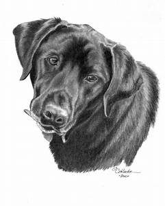 48 best images about Sporting Breed Dogs I've Sketched on ...