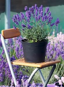 Lavendel Pflanzen Im Topf : lavendel lavandula bild 12 sch ner wohnen ~ Frokenaadalensverden.com Haus und Dekorationen