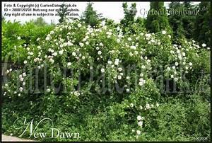 Kletterrose New Dawn : bild rose 39 new dawn 39 rosa 39 new dawn 39 foto wie bei ~ Michelbontemps.com Haus und Dekorationen